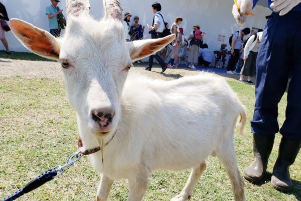 立川駅「みどり地区」のヤギさんとのお別れ会は7月2日。今のうちに目に焼き付けておこう