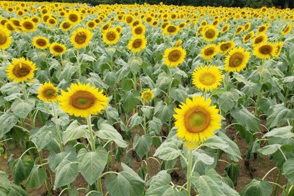 昭和記念公園のひまわり畑を見てきた。見頃を迎えた黄色い花がいっぱい広がっていた