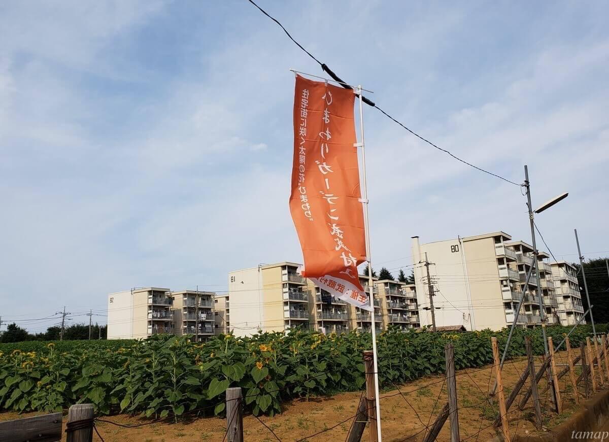 武蔵村山のひまわり畑