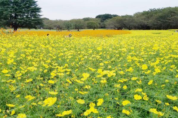 昭和記念公園 2018コスモスまつりが台風で大ピンチ!元気に上を向いて咲いて欲しい
