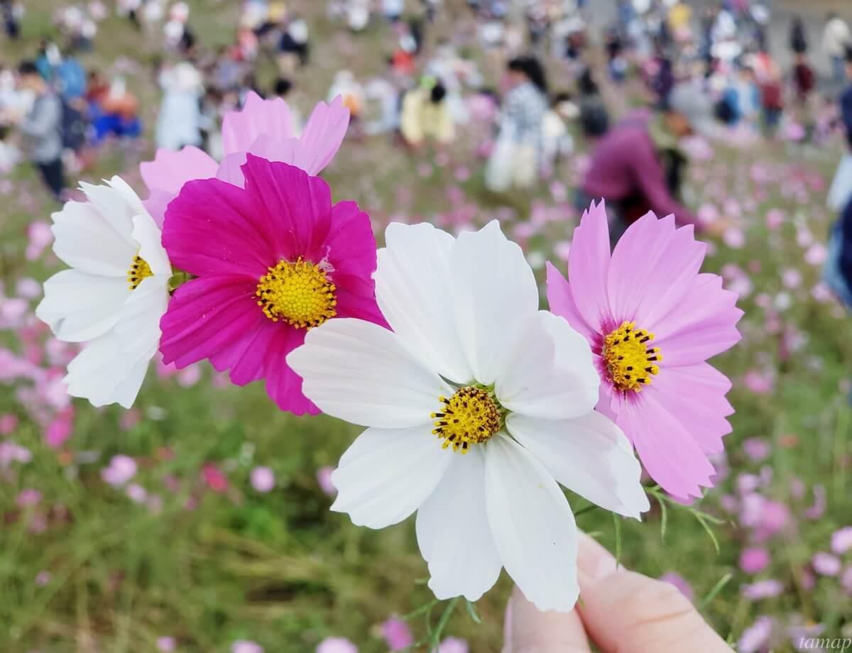 昭和記念公園コスモス摘み取り