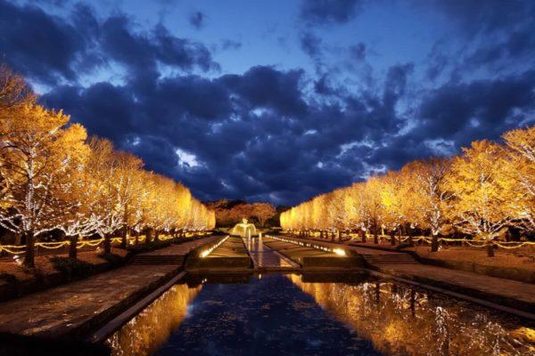 昭和記念公園カナールイチョウ並木のライトアップを見てきた。幻想的な黄色い光にうっとり