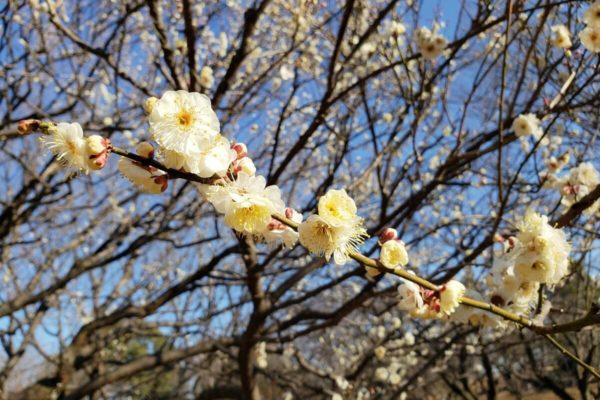 昭和記念公園 梅の2月初旬開花状況と見頃はいつ?ニホンスイセン・福寿草も見てきた