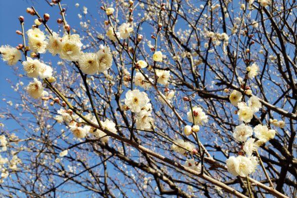 【2019年】多摩地域の梅まつり&名所5選。早春に芽吹く花の数々を見に行こう