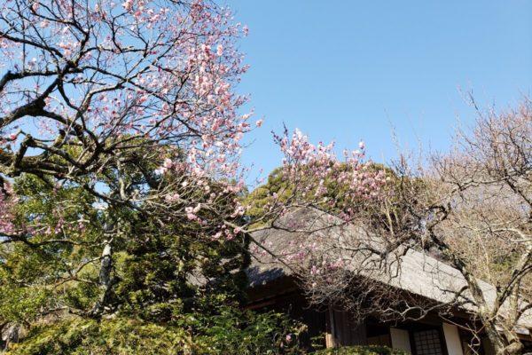 京王百草園「梅まつり2019」に行ってきた。急勾配の丘を上って見る景観とお団子が最高