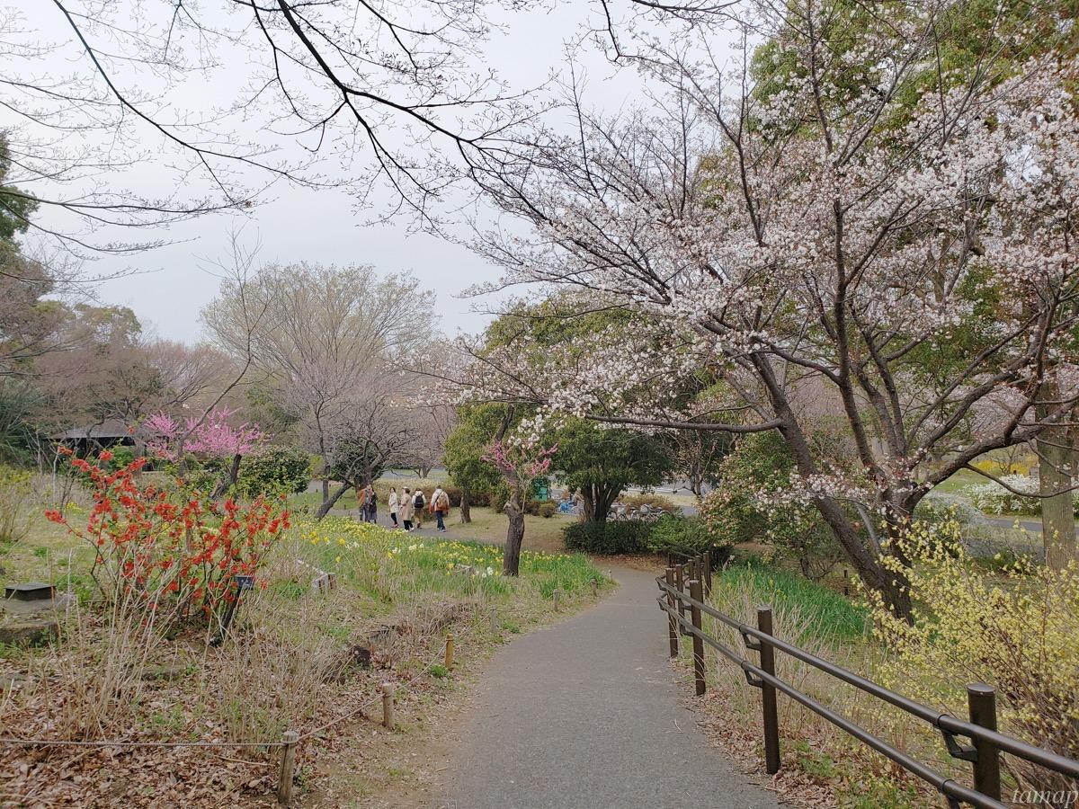 さくら橋の桜