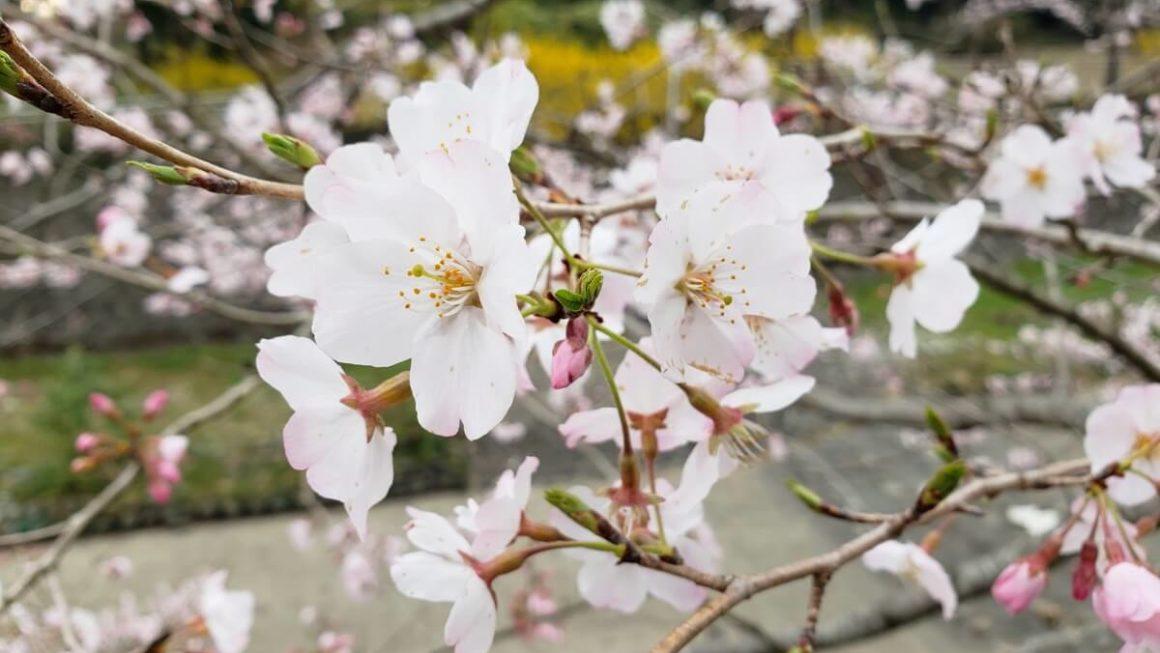 昭和記念公園3月末 桜の開花状況2019。ピンク色の道沿いを歩くのはとても気持ちがいい