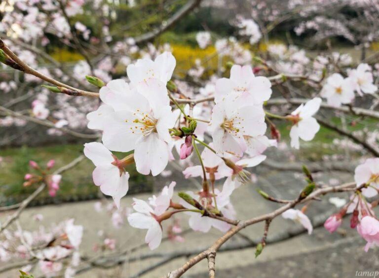 昭和記念公園の桜