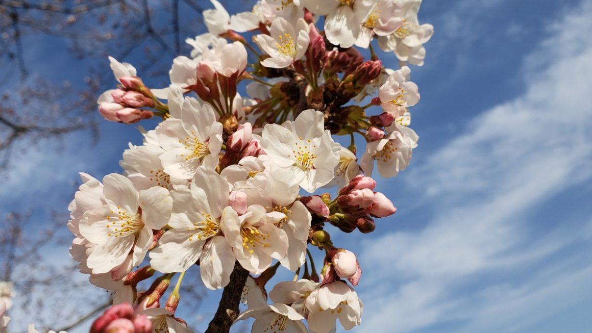 特に頑張らなくても咲く桜の花を見て思ったこと