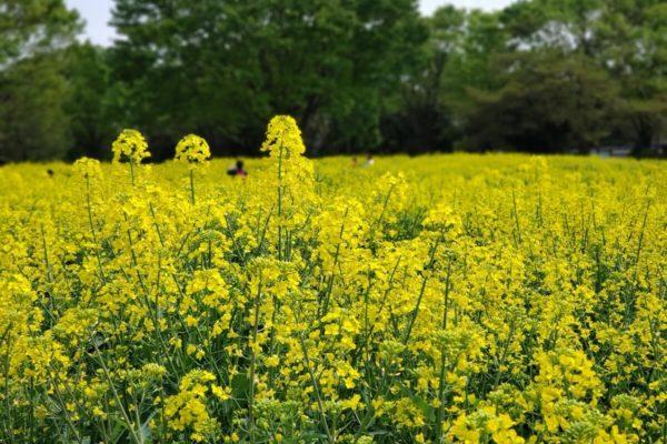 国営昭和記念公園の菜の花畑2019。4月下旬は満開であの名シーンが再現できそう