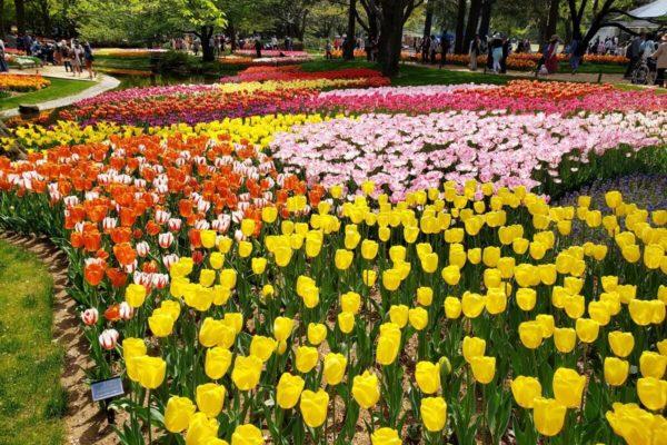 国営昭和記念公園のチューリップガーデン2019。色とりどりのカーペットにうっとり