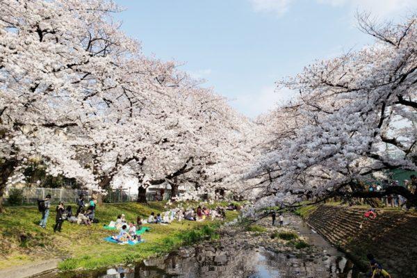 【保存版】立川市の桜の名所・お花見スポット10選。春になったらおでかけしよう