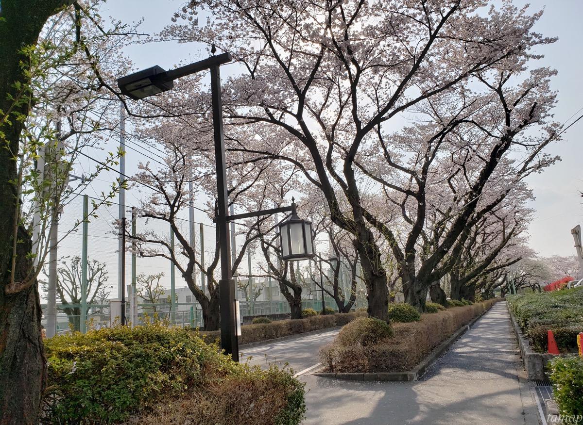 立川市の桜スポット