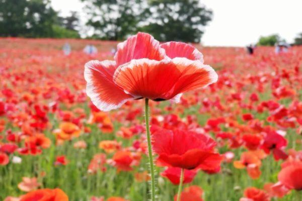昭和記念公園のシャーレーポピー2019開花状況。真っ赤なじゅうたんに魅了される