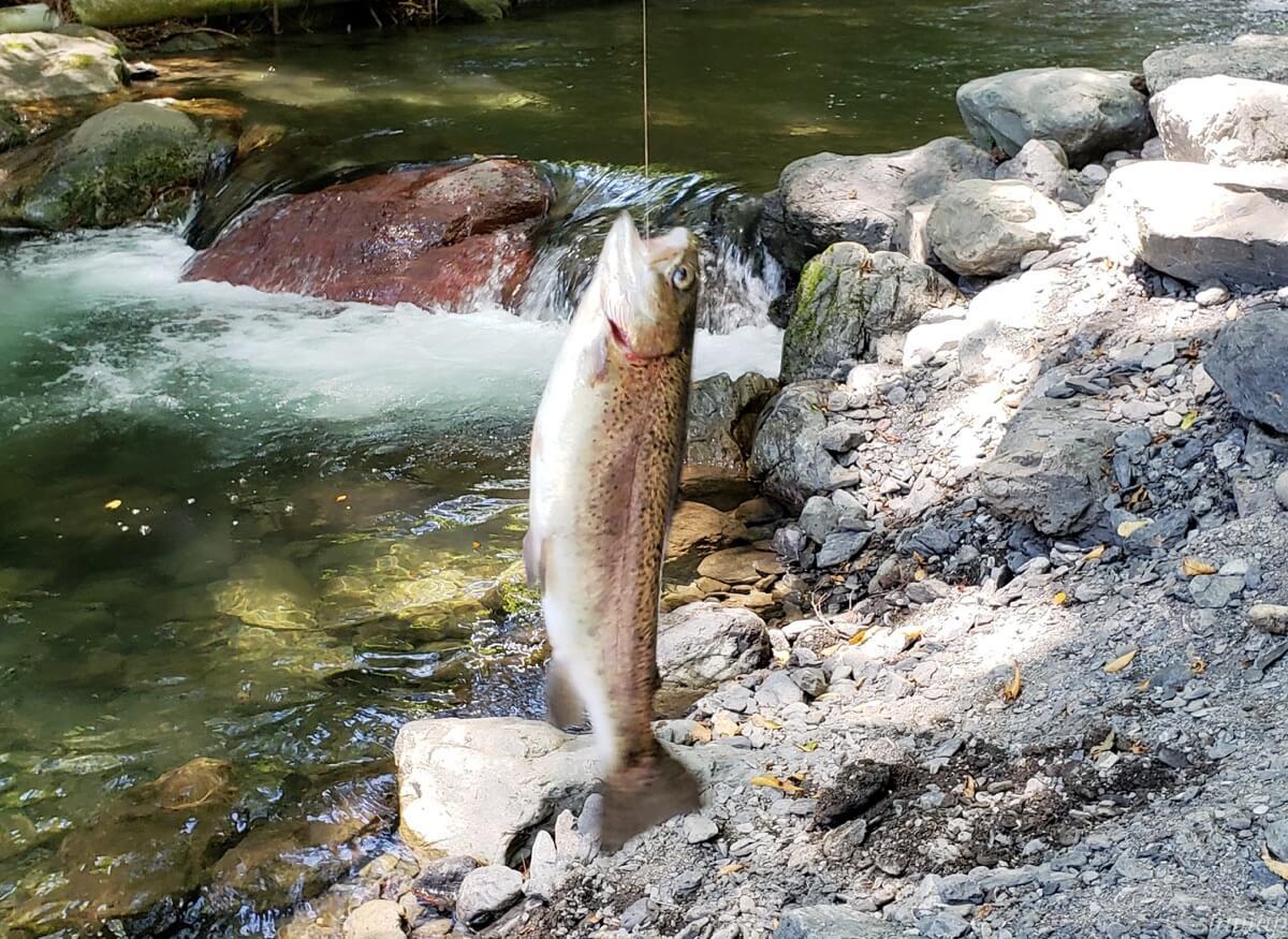 峰谷川渓流場で釣れたところ