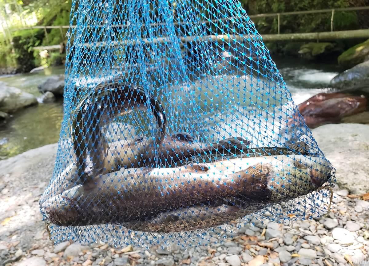 峰谷川渓流場の釣れた魚たち