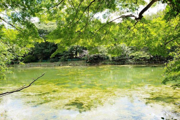 井の頭恩賜公園に水草ツツイトモが大量発生!井の頭池の水質がよみがえった理由