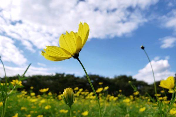 昭和記念公園 2019年9月上旬コスモス開花状況。キバナコスモスが満開なのに再び大ピンチ