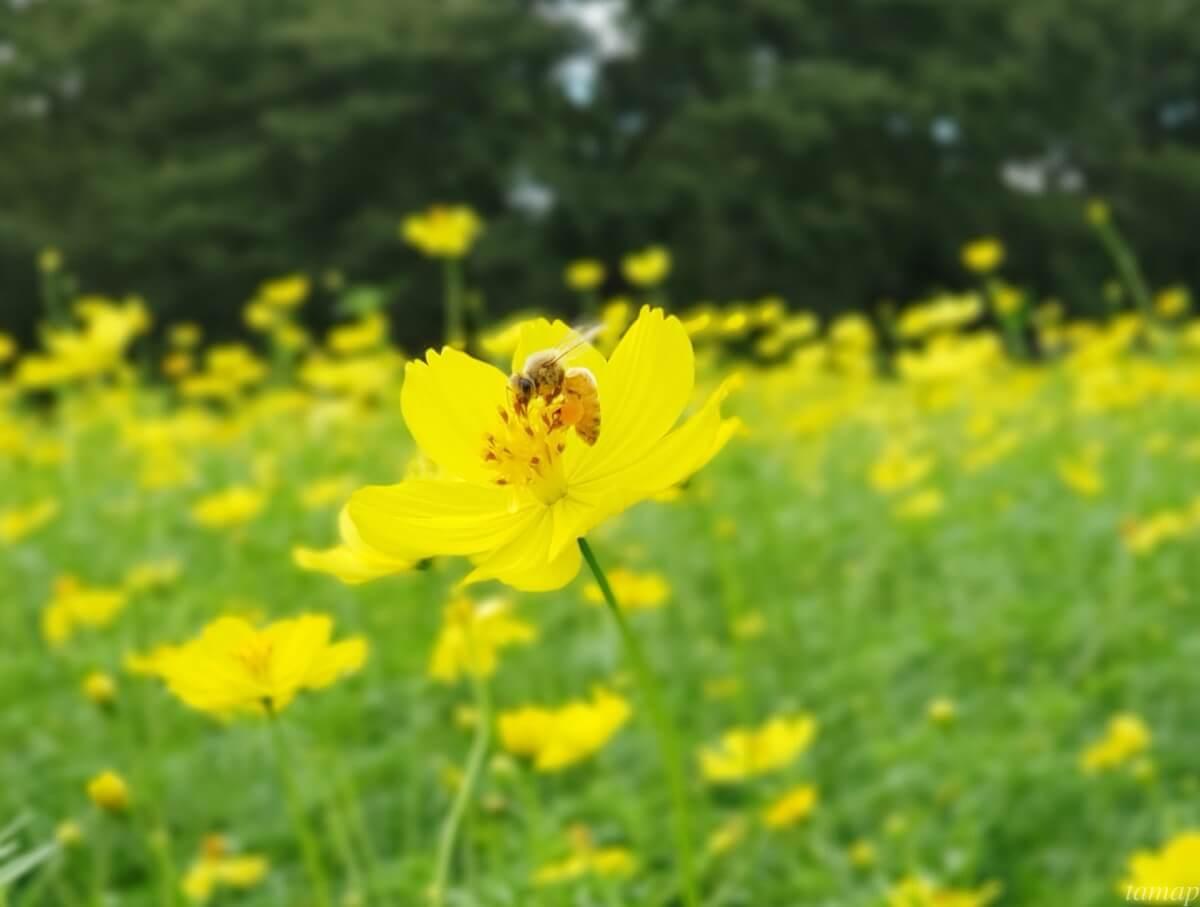 昭和記念公園のキバナコスモス