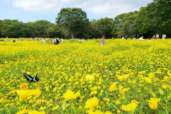 昭和記念公園「キバナコスモス摘み取り体験」に行ってきた。美しいレモンイエローに元気をもらう