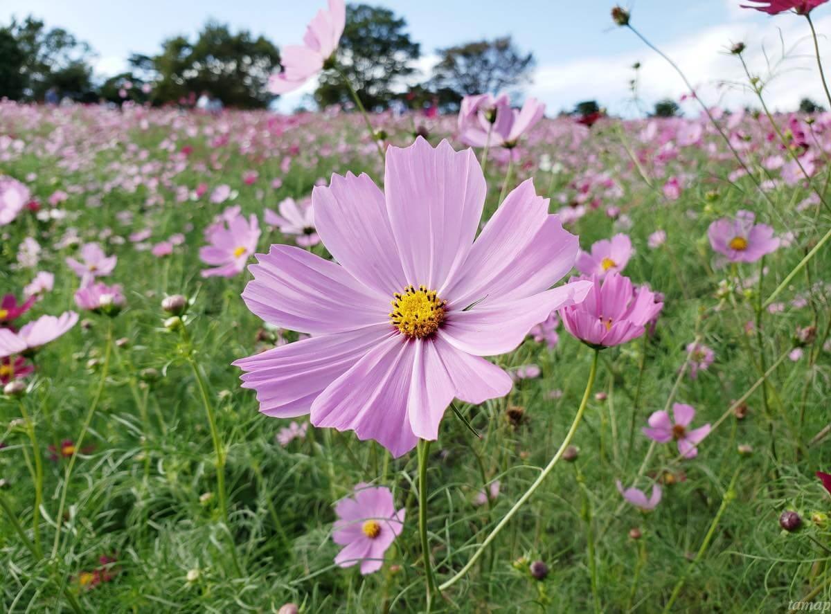 淡いコスモスの花