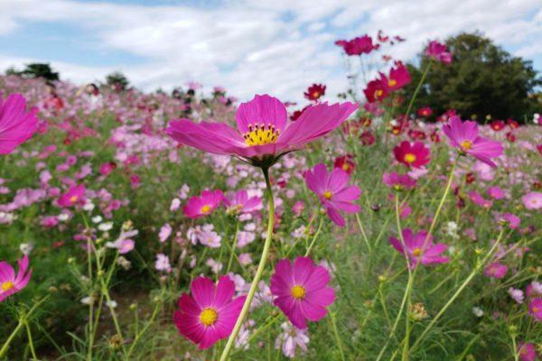 猛烈な台風19号が直撃する前に!昭和記念公園のピンク色のコスモスたちの開花状況を調べてきた