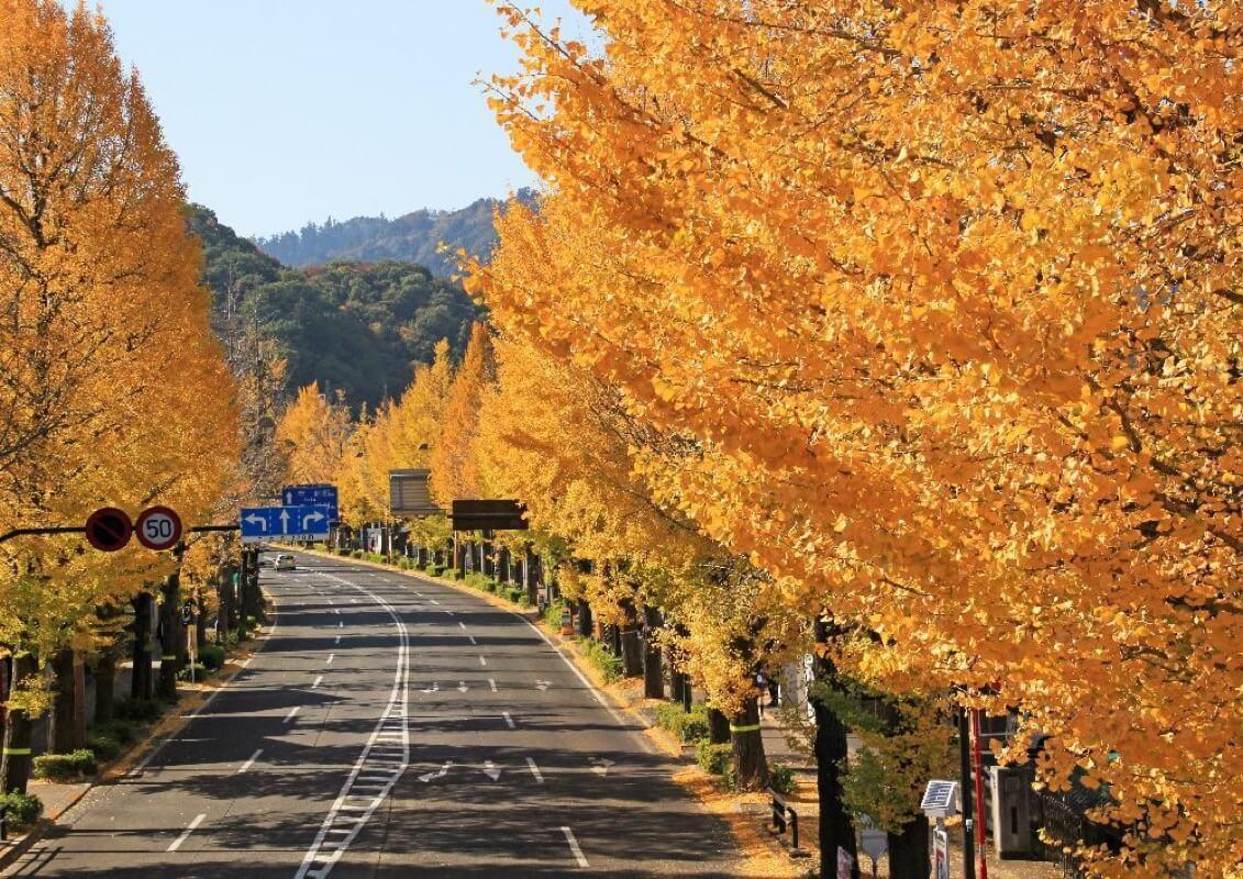 甲州街道いちょう並木