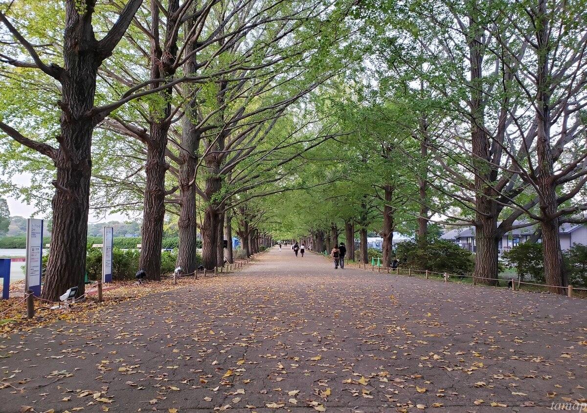 秋の夜散歩のイチョウ並木