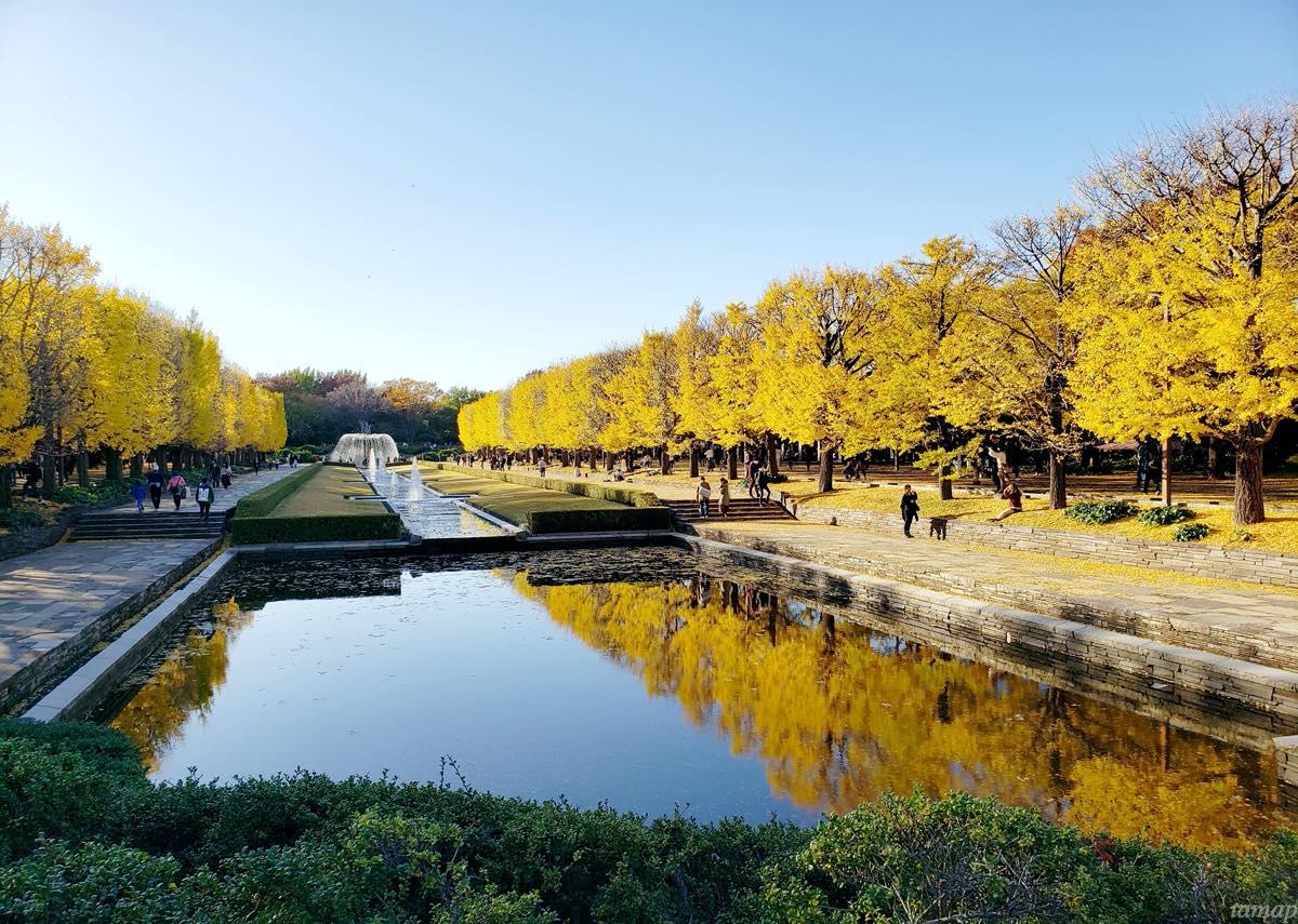 昭和記念公園カナールイチョウ並木