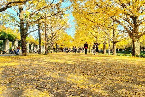 【国営昭和記念公園の紅葉状況2019】今見頃のイチョウ並木と日本庭園に行ってきた