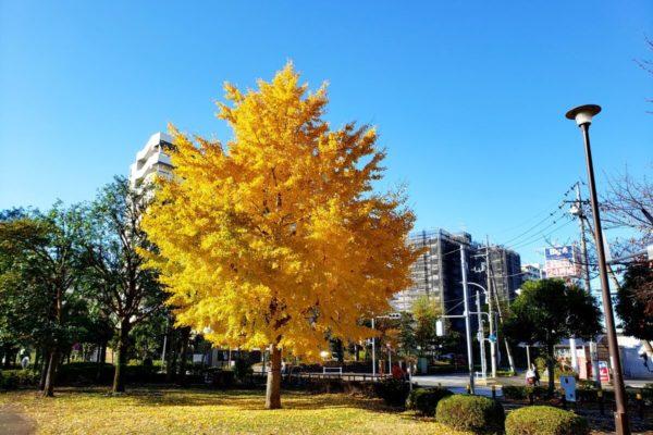 都立東大和南公園にある1本のイチョウの木が黄金色に光り輝いていた