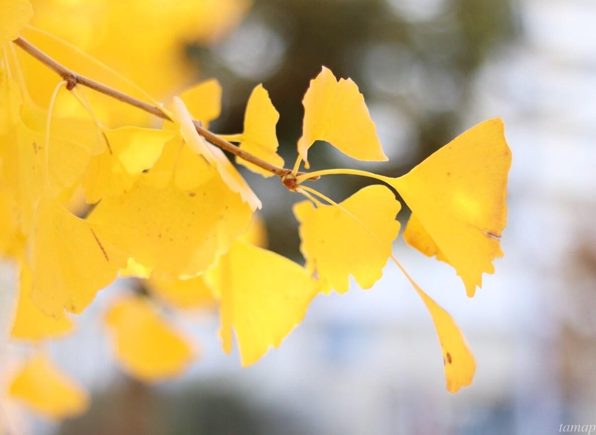 東大和南公園のイチョウの木
