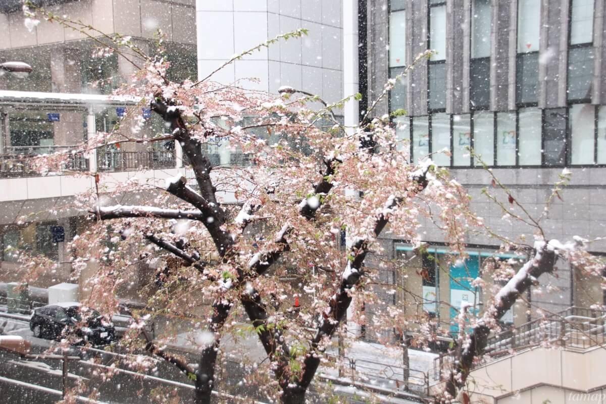 立川駅前の桜