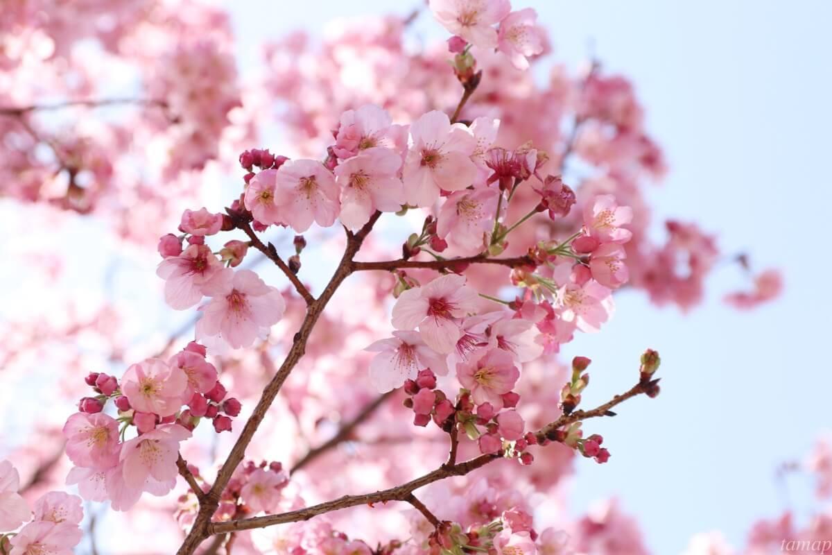 昭和記念公園のヨウコウの桜