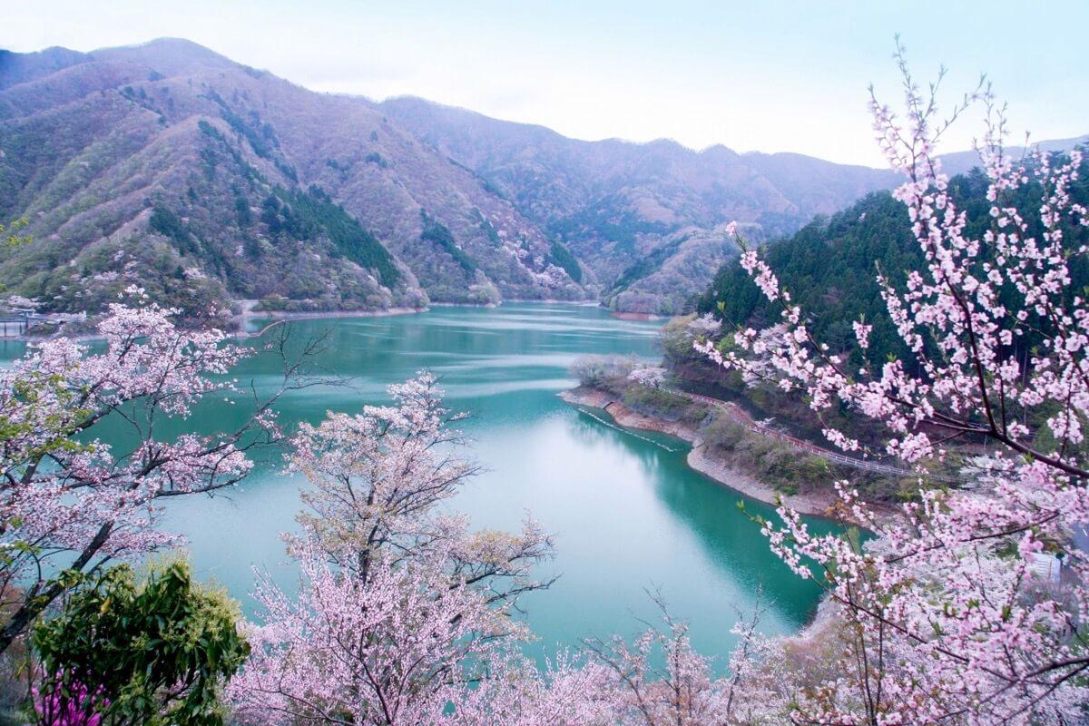 桜に染まる奥多摩湖